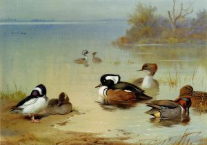 Antique Various Paintings - Buffel Headed Duck American Green Winged Teal And Hooded Merganser